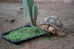 A big turtle eating fresh vegetable. Morning glory Royalty Free Stock Photo