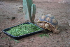 A big turtle eating fresh vegetable morning glory royalty free stock photos