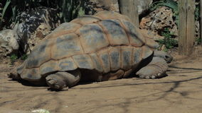 Big turtle eating in the safari. Israel stock video footage