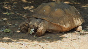 Big turtle eating in the safari. Israel stock footage