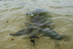 Big turtle eating sea weed on the beach. Big turtle eating sea weed at the shallow water on the beach in Sri Lanka Stock Image
