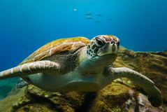 Big turtle floating in the deep blue ocean water stock photos