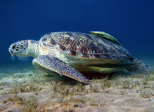 Big turtle and green suckerfish at the bottom of the sea. Big sea turtle eating alga on the sand underwater stock photo