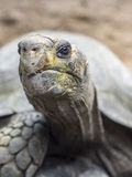 Big Turtle head shot in the zoo. A Big turtle head shot when facing toward with blurred background Royalty Free Stock Image