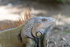 Big turtle iguana lizard Royalty Free Stock Photography