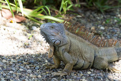 Big turtle iguana Royalty Free Stock Image