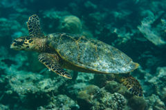 Big turtle in the indian ocean at Maldives royalty free stock photos