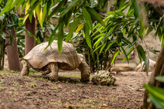 Big turtle in the jungle Royalty Free Stock Photos