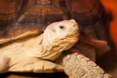 Big turtle lies behind the glass. A large sea turtle rests in a glass terrarium Stock Photos