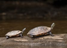 Big turtle and little turtle Royalty Free Stock Image