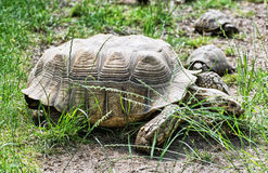 Big turtle and little turtles are feeding in the green grass, an Royalty Free Stock Images