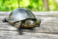 Big turtle on old wooden desk Royalty Free Stock Image