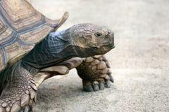 Big turtle Stock Image