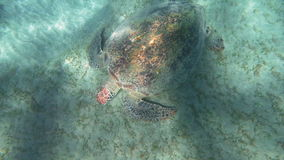 Big turtle searching food on sea floor. Slow motion and top view of big sea turtle looking for food on the ground. Water sparkling in sunlight stock footage