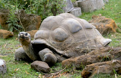 Big turtle Stock Images