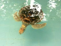 Big turtle. Swim in the pool Royalty Free Stock Photo