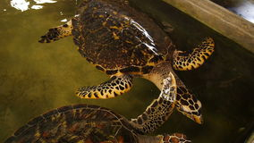 Big turtle swimming in a pool at a turtle hatchery in Sri Lanka. Turtles swimming in a pool at a turtle hatchery in Sri Lanka stock footage