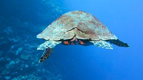 The big turtle swims slowly. The big sea turtle swims slowly along the coral reef, Red sea, Egypt. Full HD underwater footage stock video footage