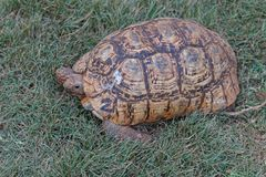 Turtle. Big turtle tortoise in Kenya Stock Photo