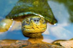 Big turtle in tropical pond water Stock Photography