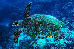 Big turtle undersea. Big turtle swimming undersea, beautiful exotic water animal, wonderful marine life, summer travel and vacation concept Royalty Free Stock Photo