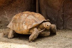Big turtle in a zoo. Close view stock image
