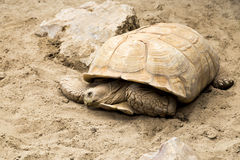 Big turtle Royalty Free Stock Photo