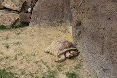 Big turtle in zoo Royalty Free Stock Images