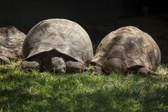 Big turtles. Schleich Giant Turtles on the grass stock image