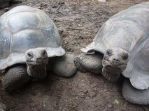 Big turtles on Seychelles. Huge turtles on Seychelles, Indian Ocean Stock Photo