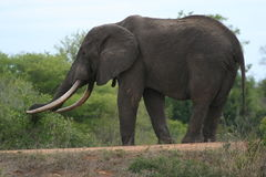 Big tusker Royalty Free Stock Image