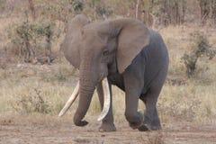 Big Tusker Stock Image