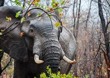Big Tusker in the Rain stock photos