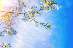 Big twig of cherry tree with beautiful blossoming Stock Image
