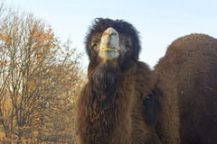 Big two-humped camel Royalty Free Stock Photo