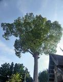 Big two hundred year Yang tree  and Ubosodh Lanna style Stock Photos