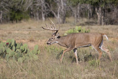 Big typical whitetail buck during the rut Stock Photo