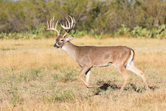 Big typical whitetail buck Royalty Free Stock Image