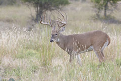 Big typical whitetail buck searching for doe in heat Stock Image