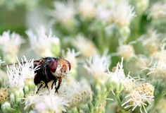 A big ugly fly in some beautiful white flowers. A large fly with a pig like appearance sitting in some flowers Royalty Free Stock Images