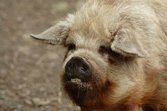 Big ugly pig with bad teeth. A large bristly pig with a 4 bad teeth and muddy face Royalty Free Stock Photo