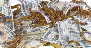 Big ugly worms crawling over dollars banknotes backgroundt. Big ugly worms crawling over dollars banknotes background, economic decay concept stock footage
