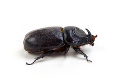 Big unicorn beetle on white Royalty Free Stock Photos