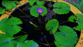 Big vase as pond with water flowers in tropical park stock footage