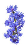 Big vertical bluet cornflower isolated on white background Royalty Free Stock Photo