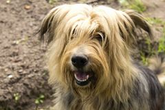 Big very shaggy dog Stock Photo