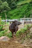 Big vietnam buffalo outside nature on green background Royalty Free Stock Photography