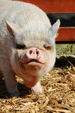 Big Vietnamese Pot-bellied Pig Royalty Free Stock Photos