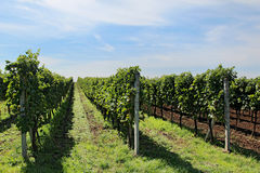 Big vineyard with long lines Stock Photo