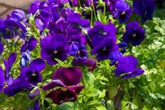Big Viola wittrociana flowers, pansies on flower market stock photos